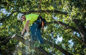 Tree Trimming Service in Colorado Springs - Arborist trimming an oak tree